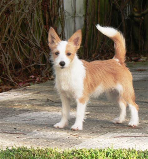 portuguese podengo puppies portuguese podengo pequeno info temperament puppies pictures