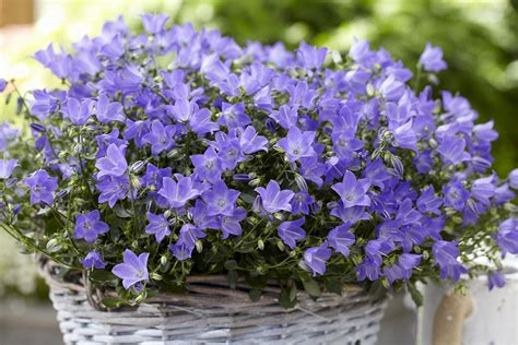 Campanula Spring Bell 150mm Pot   Dawsons Garden World