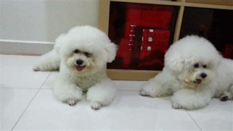 how to give a bichon a puppy cut dogs bichon in teddy bear cut youtube