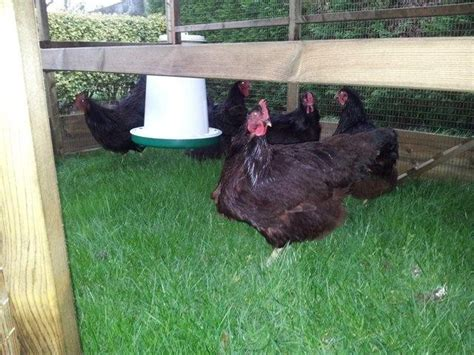 rhode island red chicken birds for sale southwell