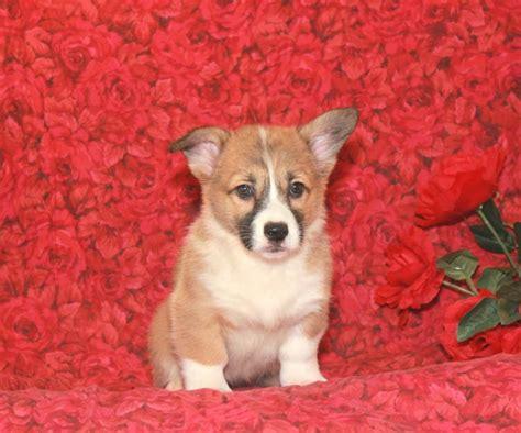 corgi puppies for sale in ct adorable corgi pup puppyindex