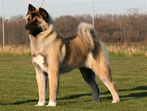 akita pictures akita dogs must be kept says mp the ambler