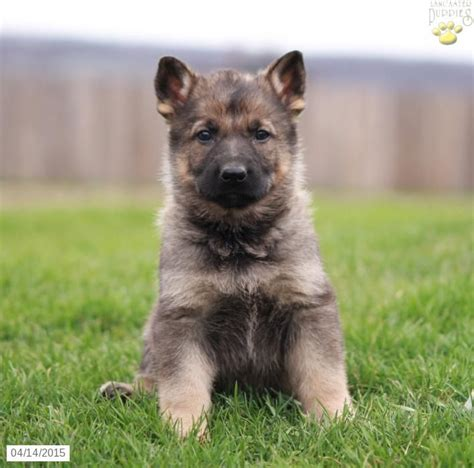 german shepherd puppies for sale in pa german shepherd puppy for sale in pennsylvania puppies german shepherd