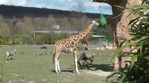 giraffe zebra gnu opel zoo germany frankfurt k 246 nigstein