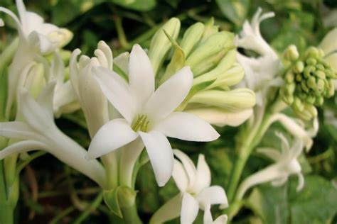 night blooming edible chocolate flower berlandiera very fragrant 4 pot blooming flowers hgtv