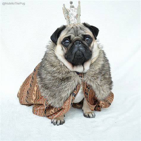 pug mechanic meet nutello the most fashionable pug on the