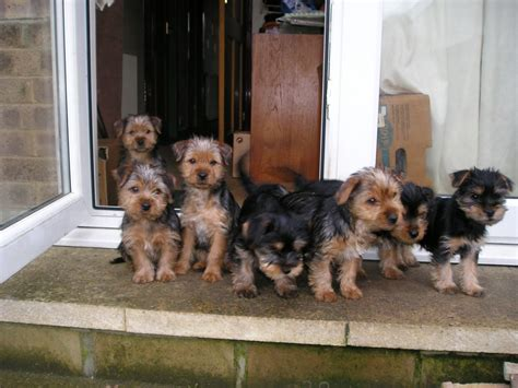 lhasa apso yorkie cross terrier cross lhasa apso puppies brighouse west pets4homes