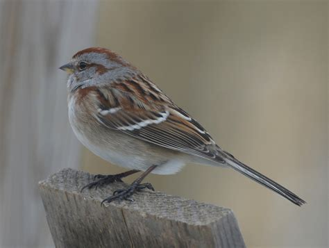 ohio bird photo collection american tree sparrow
