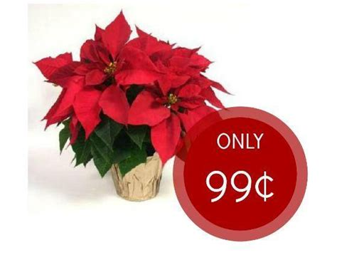 lowe s poinsettia sale only 0 99 at lowes