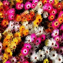 foto piante grasse fiorite piante grasse fioriscono piante grasse piante