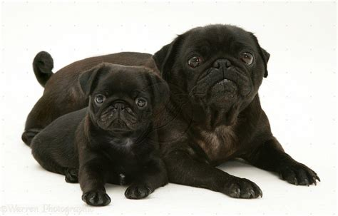black pugs images black pug wallpapers wallpaper cave