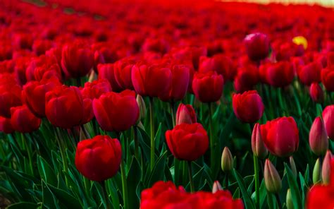 flower wallpaper new 2015 czerwone tulipany tapety na pulpit