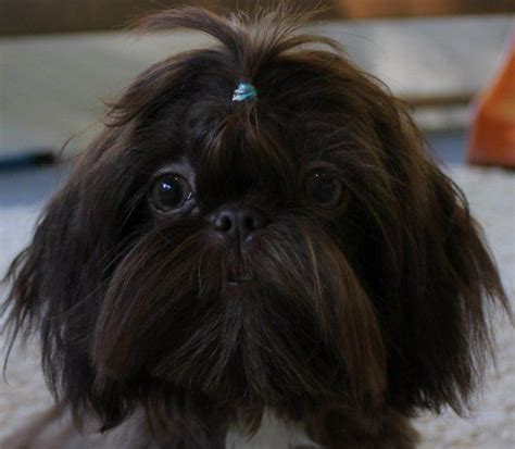 shih tzu colorado tomorrow shih tzus shih tzu breeder northeast colorado