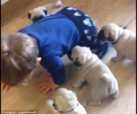 pugs being shows seven week pug puppies chasing toddler louie around the kitchen