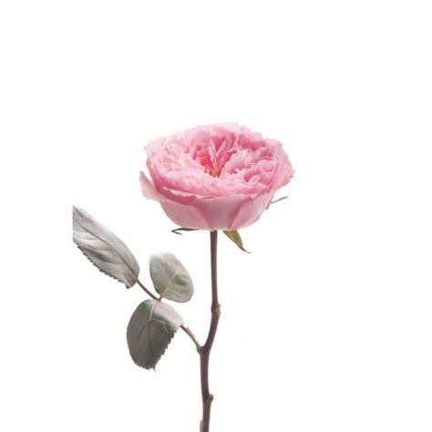 mayra flower pink garden mayra garden roses roses flower muse