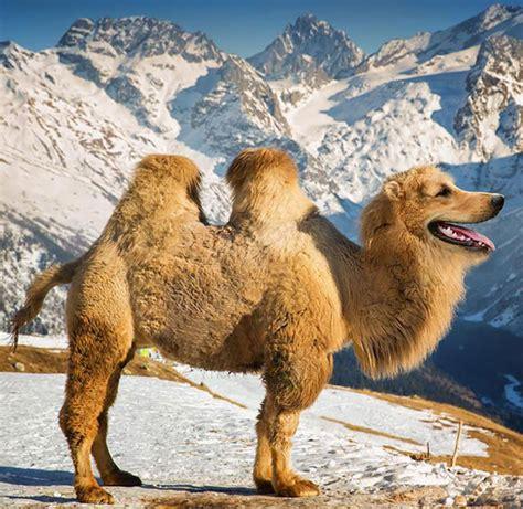 golden retriever in michigan photo mi golden retriever mi chameau voici le golden chameau