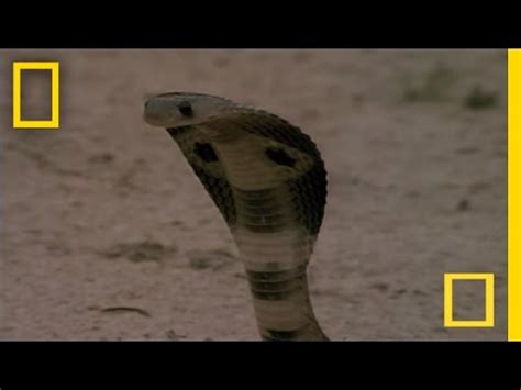 cobra vs. mongoose | national geographic youtube