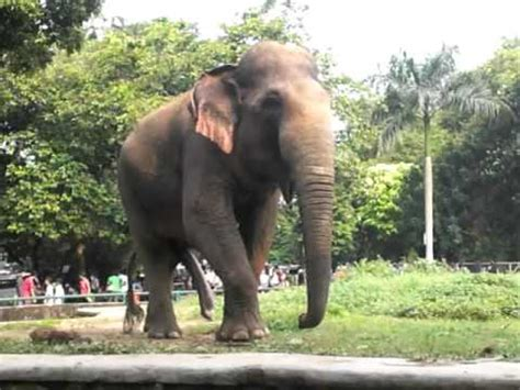 Gajah Lucu gajah kaki 5 lucu banget 5 leg elephant lol