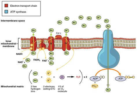 diagram of electron transport electron transport chain