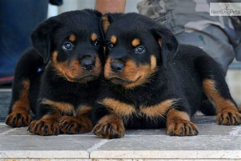 puppy rottweiler for adoption best 25 rottweiler puppies for adoption ideas on rottweiler pups for sale
