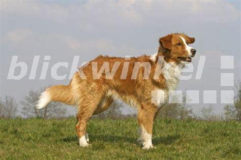 leonberger golden retriever mischlingshund leonberger golden retriever stehend auf wiese breeds picture