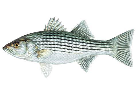 Striper White striped bass mdc discover nature