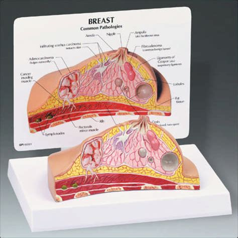 breast cross section anatomical breast cross section model ang345 136 99