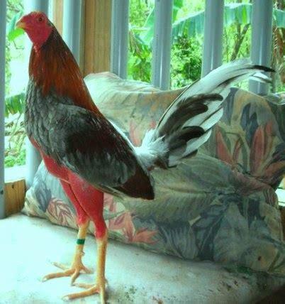 www imagenes de gallos finos de puerto rico ver fotos de gallo de pelea del mundo