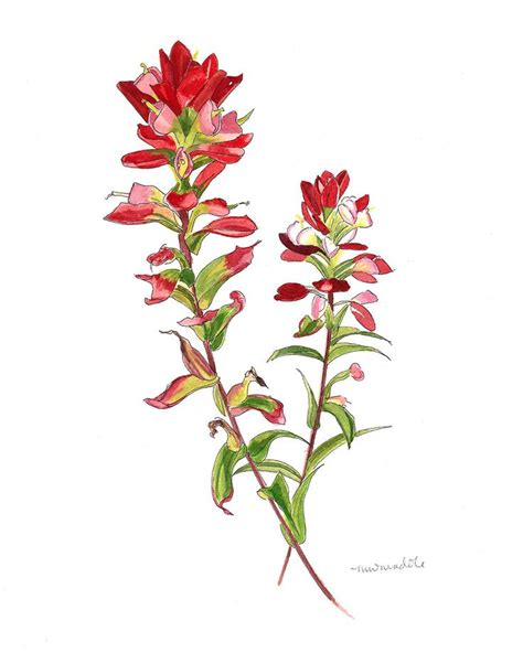 Indian Paintbrush Flower Drawing 25 best ideas about indian paintbrush on