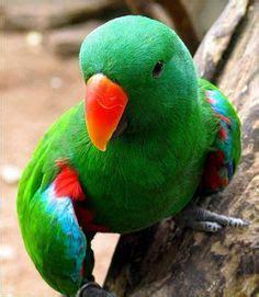 eclectus the eclectic bird d on pinterest parrots