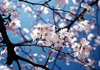 dreams bunga sakura
