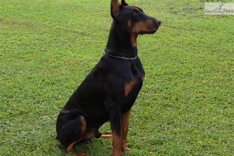 doberman pinscher puppy for sale doberman pinscher photo photo of doberman pinscher photo location of breeds picture
