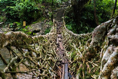 what is root bridge nongriat and the living root bridges of meghalaya lost