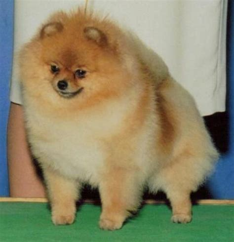 trudy s pomeranians trudy s aiming for the top померанский шпиц