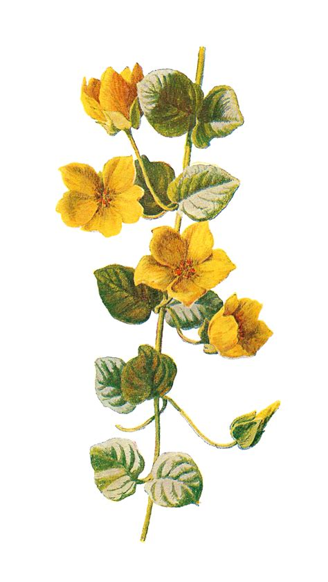 antique images free flower download wildflower clip art