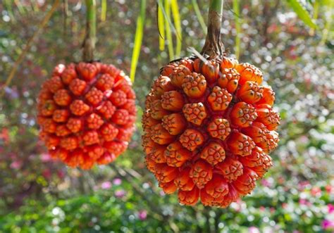 Bibit Hawai Pink 15 druhů exotick 233 ho ovoce kter 233 jste nejsp 237 š nikdy