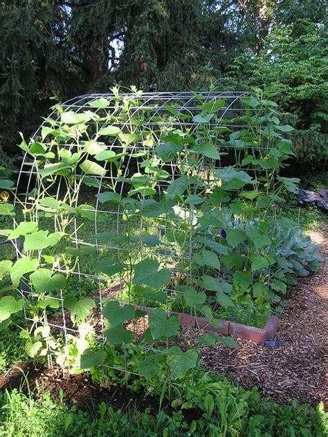 cucumber trellis pics vegetable gardening forum