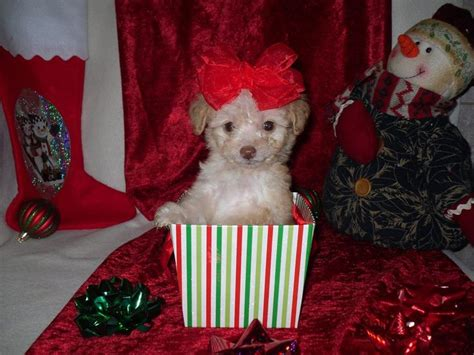 designer puppies for sale 29 best images about small designer puppies for
