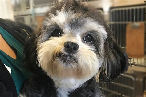 lhasa apso mixed with yorkie terrier lhasa apso mix peanut is a to be around anaheim news