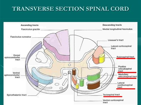 transverse section of the spinal cord ppt 1 extra pyramidal system 2 motor neuron lesions