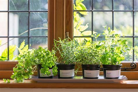 herbs indoors how to grow herbs indoors this winter corner