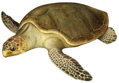 imagenes de tortugas blancas especies en peligro de extinci 243 n tortuga golfina