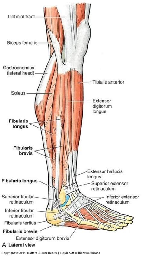 leg l from lateral leg muscles flashcards anatomy 11 leg ankle