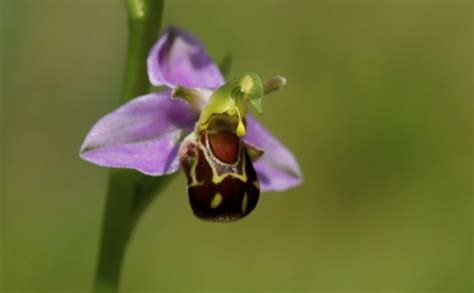 facts about the bee orchid orchids plus 15 amazing facts about orchids