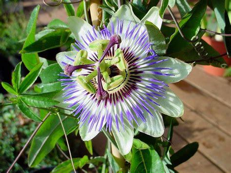fiore della passione enrica signora g fiore della passione