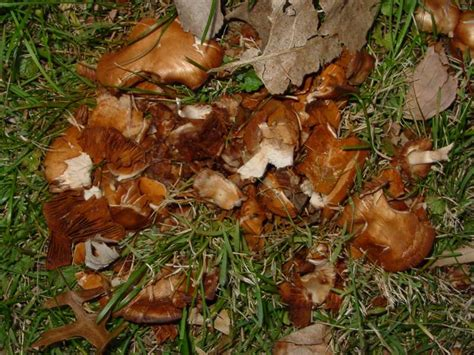 Backyard Mushrooms Dogs by House Is Infested With Fungi Pics Included
