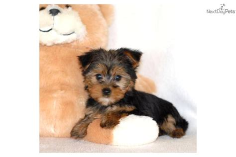 affordable yorkie puppies micro teacup is our yorkie puppy for sale affordable breeds picture