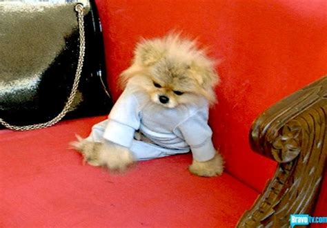 vanderpump pomeranian breeder 145 best gettin giggy with it images on real and beverly