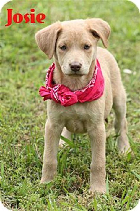 golden retriever catahoula mix josie adopted puppy glastonbury ct golden retriever catahoula leopard mix