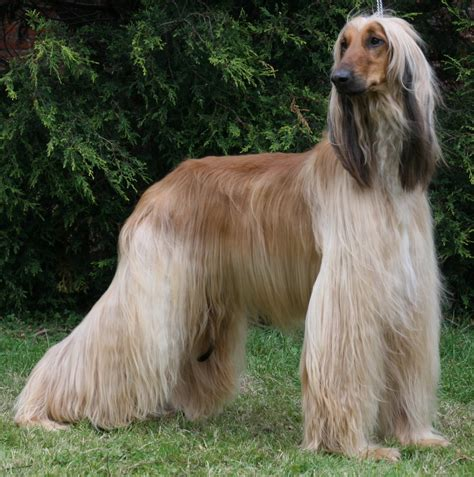 Afghan Hound by Pictures Of Dogs Afghan Hound Free Hd Wallpapers